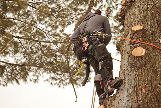 DCP Tree Service LLC employee trimming a tree